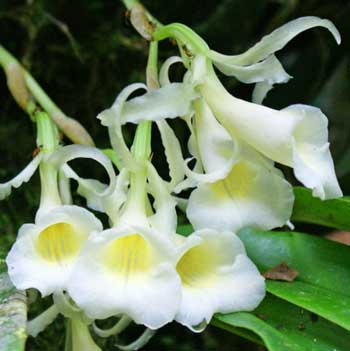 Intag Orchids